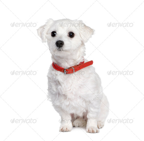 Maltese dog, Bichon, 4 years old, sitting in front of white background, studio shot - Stock Photo - Images