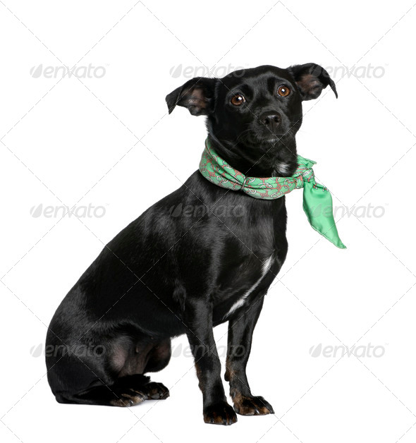 Mixed breed dog between a Chihuahua and a Dachshund, sitting in front of white background - Stock Photo - Images