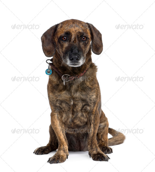 Old bastard dog, 10 years old, sitting in front of white background, studio shot - Stock Photo - Images
