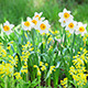 Daffodil Narcissus On Flower Bed - VideoHive Item for Sale