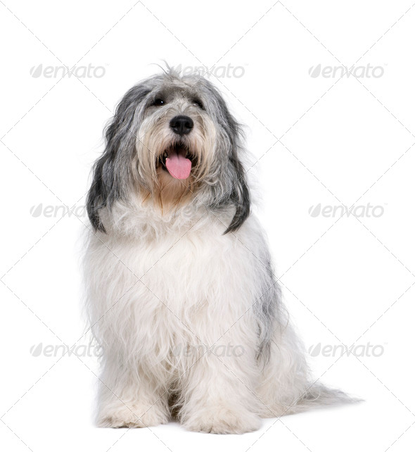 Polish Lowland Sheepdog, 2 years old, sitting in front of white background, studio shot - Stock Photo - Images