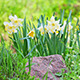 White Daffodil Narcissus On Flower Bed - VideoHive Item for Sale