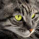 Portrait of green-eyed cat - PhotoDune Item for Sale