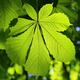 Chestnut green leaf - PhotoDune Item for Sale