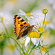 Butterfly orange on a camomile - PhotoDune Item for Sale