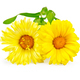 Calendula yellow - PhotoDune Item for Sale