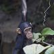Chimpanzee (Pan troglodytes) - PhotoDune Item for Sale