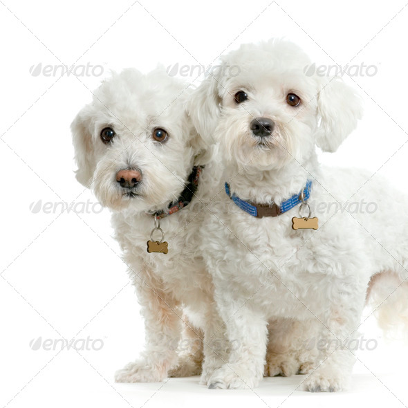 Couple de bichon maltais - Stock Photo - Images
