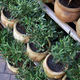 Young potted olive trees on a terrace - PhotoDune Item for Sale