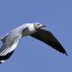Grey-headed gull (Chroicocephalus cirrocephalus) - PhotoDune Item for Sale