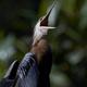 African darter (Anhinga rufa) - PhotoDune Item for Sale