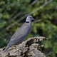Red-eyed Dove (Streptopelia semitorquata) - PhotoDune Item for Sale