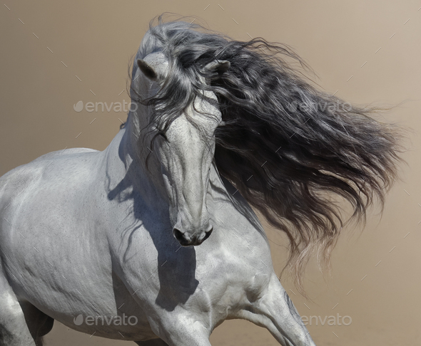 Close up portrait of white Andalusian horse with long mane flutters on wind. - Stock Photo - Images