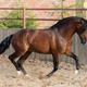 Bay Andalusian horse gallops in paddock. - PhotoDune Item for Sale