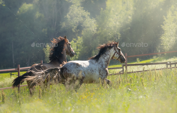 Herd of Spanish horses walks in field. Two stallions galloping on pasture. - Stock Photo - Images
