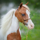 Portrait closeup of paint American Miniature Horse. - PhotoDune Item for Sale