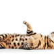 Bengal cat playing and looking up, isolated on white - PhotoDune Item for Sale