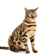 Bengal cat isolated on white background. Purebred - PhotoDune Item for Sale
