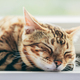 Relaxed Bengal cat sleeping happy while lying on a window sill. - PhotoDune Item for Sale