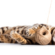 Bengal cat playing with cotton yarn. Isolated - PhotoDune Item for Sale