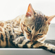 Cat grooming himself on window sill. Bengal cat - PhotoDune Item for Sale