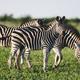 Three Common Zebras foraging on savanna - PhotoDune Item for Sale