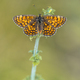 Meadow fritillary butterfly - PhotoDune Item for Sale