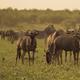 Blue Wildebeest herd - PhotoDune Item for Sale