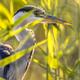 Grey heron close up of head in reed - PhotoDune Item for Sale
