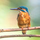 Common European Kingfisher - PhotoDune Item for Sale