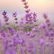 Lavender flowers closeup. - PhotoDune Item for Sale