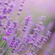 Lavender flowers closeup - PhotoDune Item for Sale