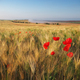 Meadow of wheat and poppy. - PhotoDune Item for Sale