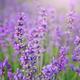 Lavender flowers - PhotoDune Item for Sale