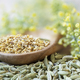 Fennel Pollen, Seeds and Flowers - PhotoDune Item for Sale