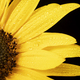 Sunflower Macor on Black - PhotoDune Item for Sale