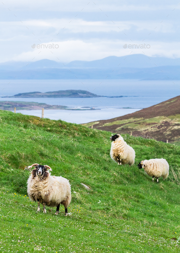Sheep Grazing in a Grassy Field on the Coast in Scotland - Stock Photo - Images