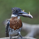 Giant kingfisher (Megaceryle maxima) - PhotoDune Item for Sale