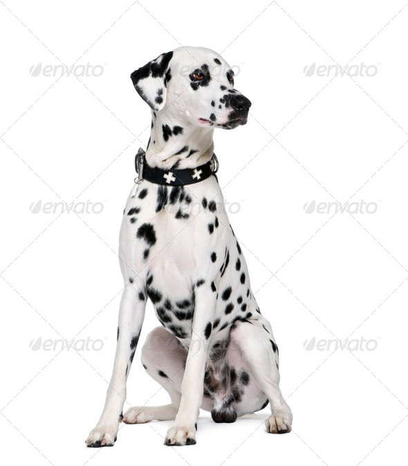 Dalmatian, 2 years old, sitting in front of white background, studio shot - Stock Photo - Images