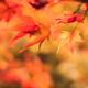 Beautiful autumn maple leaves in nature, fall foliage - PhotoDune Item for Sale