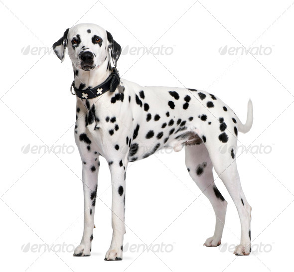 Dalmatian, 2 years old, standing in front of white background, studio shot - Stock Photo - Images