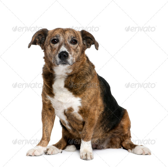 Old bastard dog, 11 years old, sitting in front of white background, studio shot - Stock Photo - Images