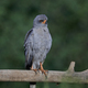 Dark chanting goshawk (Melierax metabates) - PhotoDune Item for Sale