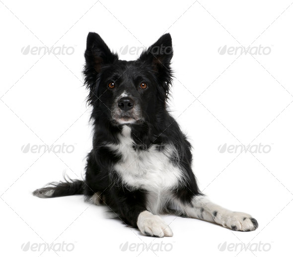 Border Collie, 6 years old, sitting in front of white background, studio shot - Stock Photo - Images