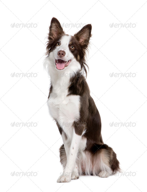Border Collie, 1 year old, sitting in front of white background, studio shot - Stock Photo - Images