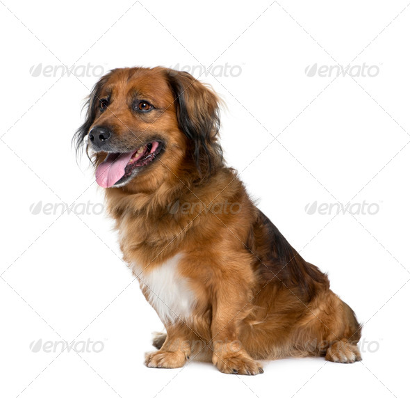 Bastard dog, 10 years old, sitting in front of white background, studio shot - Stock Photo - Images