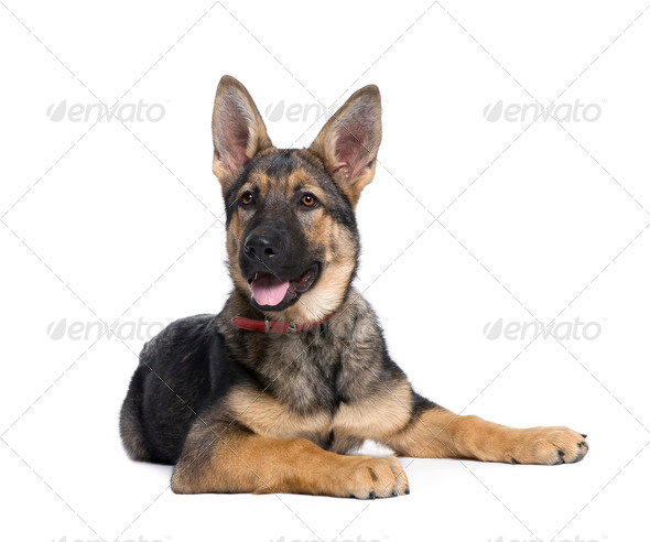 German Shepherd puppy, 4 months old, sitting in front of white background, studio shot - Stock Photo - Images