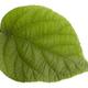 kiwi leaf - PhotoDune Item for Sale