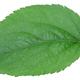 Apple green leaf - PhotoDune Item for Sale