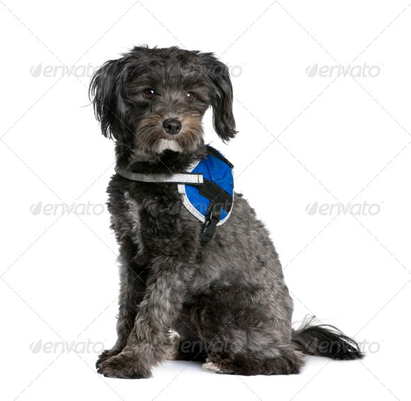 Bastard dog, 2 years old, sitting in front of white background, studio shot - Stock Photo - Images